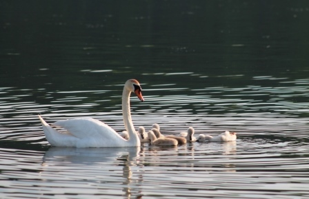 nature 24 swans
